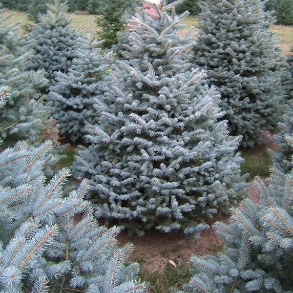 blue spruce christmas trees jacksonville florida