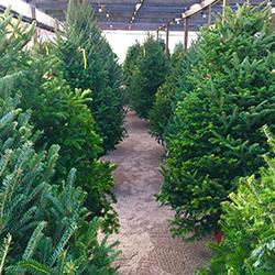 christmas trees jacksonville beach