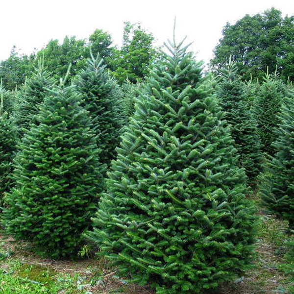 Fraser Fir Christmas Trees for sale Jacksonville Beach FL