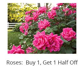 rose bushes sale jacksonville beach